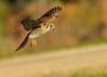 American Kestrel Hen (gilamonster8) Tags: american kestrel hen flight fly falcon hawk birdofprey bird bokeh beyondbokeh beak ngc flickrelite canon eos 7dmarkii ef400mm56l explore explored arizona tucson tail talons
