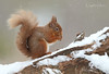 Red Squirrel (oddie25) Tags: canon 1dx 600mmf4ii redsquirrel squirrel scotland scottishhighlands scottishwildlife snow wildlife wildlifephotography nature naturephotography