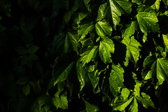 Shadows and Leaves (katyearley) Tags: 55mm canonrebelt6 sun black ivy contrast green shadows leaves
