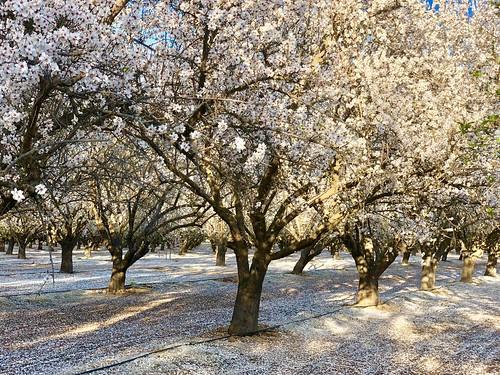 Flowering Almond trees, Bakersfield, CA