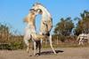 2015 09 19 Camargue_0089 (bernardtraveler) Tags: camargue france stallions fr