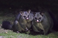 Brush-tailed Possums (Baractus) Tags: john oates pepperbush patrol quoll scottsdale tasmania australia mithanna valley inala nature tours pepper bush adventures