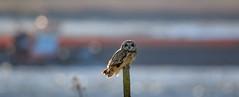 Thames Barge and Short Eared Owl (Andy Wakefield Photography) Tags: birdbritishwildlife estuary perched rainhammarshesrspb shortearedowl winter