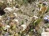 Pérézia multiflore (L'herbier en photos) Tags: composées asteraceae compositae astéracées perezia multiflora humb bonpl less escorzonera carolina coronel pringles san argentine argentina sierra nt0706 sanluis