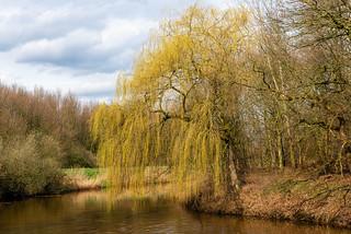 Weeping willow in springtime - Treurwilg in de lente