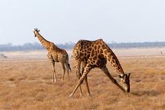 The ballerina eats (Red Cathedral [FB theRealRedCathedral ]) Tags: redcathedral aztektv sony alpha mirrorless a6000 sonyalpha wanderlust digitalnomad hiking protest activism alittlebitofcommonsenseisagoodthing travellingphotographer travel namibia naukluft etosha nationalpark africa wildlife animal thebigfive giraffe giraf