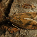 Epinotia solandriana - Листовёртка изменчивая