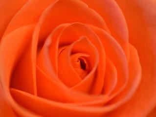 Orange rose April8th 365-98