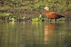 0721 Tadorna Ferruginea (Hrvoje Simich - gaZZda) Tags: duck river tadornaferruginea outdoors nopeople reflections chitwan nepal asia nikon nikond750 sigma150500563 gazzda hrvojesimich
