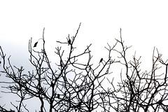 birds and leaves (swig filz felt feutre foto) Tags: swig filz felt feutre foto photography silhouettes outlines scherenschnitt blackwhite