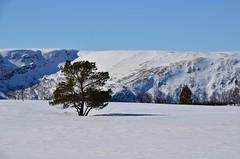 fjellfuru (KvikneFoto) Tags: landskap vinter winter snø snow natur norge hedmark kvikne tamron nikon