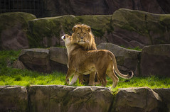 Animals. (ost_jean) Tags: lions leeuwen antwerp light colors love nikon d5200 7003000 mm ostjean