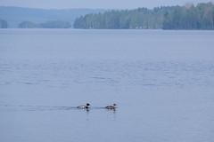 12052018-DSCF8287-2 (Ringela) Tags: småskrake ludvika maj 2018 sweden mergus serrator redbreasted merganser harle huppé birds nature fujifilm xt1