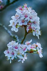 Blossom -37- (Jan 1147) Tags: blossom bloesem bloem bloemen flower flowers natuur nature outdoor buitenopname depinte belgium