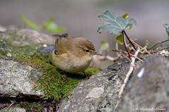 Luì Piccolo _015 (Rolando CRINITI) Tags: luìpiccolo uccelli uccello birds ornitologia arenzano natura