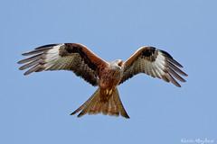 Red Kite_82A0263 (kevinmayhew62) Tags: milvusmilvus redkite stilton inflight