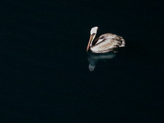 pelican night reflection (maryannenelson) Tags: mexico seaofcortez water bird night pelican