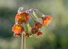 dewy cowslips (Emma Varley) Tags: cowslip red flower spring wild dew morning droplet starburst april westsussex bokeh pretty jewels