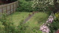 foxes (alanpeacock2) Tags: foxes cubs wildlife nature