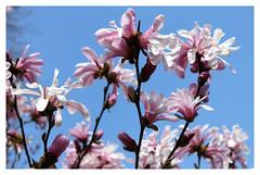 Cylburn Arbretum ~ Magnolia blossoms (karma (Karen)) Tags: baltimore maryland cylburnarboretum parks blossoms magnolia smileonsaturday springflowers cliche hsos hcs topf25