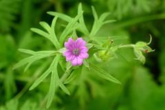 *Geranium dissectum. CUT-LEAVED GERANIUM (openspacer) Tags: geraniaceae geranium grassland jasperridgebiologicalpreserve jrbp nonnative