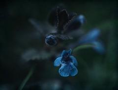 Blue .. (Julie Greg) Tags: blue texture flower flowers park colours canon5dmarkiv macro plant