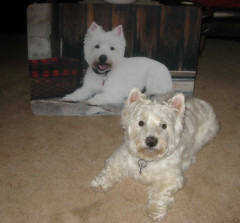 "5/12B ~ ""Riley & his Double"" (ellenc995) Tags: riley westie westhighlandwhiteterrier 12monthsfordogs18 mat alittlebeauty coth thesunshinegroup"