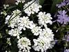 Chez le pépiniériste (bd168) Tags: flowers miniatures pépinière greenhouse potted enpot xt10 xf50mmf2rwr garden blanche mauve