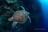 Big Flying Turtle (kayak_no1) Tags: nikon d800e nauticamhousing 15mmsigmafisheye fisheye ysd1 underwater underwaterphotography wa wideangle diving scubadiving uw moalboal philippines trutle greentrutle