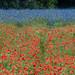 poppies and corn flowers (WernerKrause) Tags: cwwwwernerkrauseeu 2018 mohn poppies cornflowers kornblumen köln cologne landscape landschaft sommer summer deutschland germany explore56
