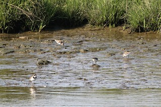 Semipalmated plover and semipalmated sandpipers