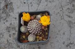 Sulcorebutia arenacea (douneika) Tags: sulcorebutia arenacea cactus cactaceae taxonomy:family=cactaceae taxonomy:binomial=sulcorebutiaarenacea