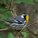 Yellow-throated Warbler | Fall Out | Sabine Woods | TX|2018-04-08|11-35-35.jpg