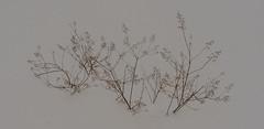 Talviasu (lpyhnen) Tags: muut kasvit lumi talvi