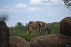 The Science Is In: Elephants Are Even Smarter Than We Realized (Karnevil) Tags: usa nc northcarolina asheboro asheborozoo zoo northcarolinazoo nczoo africaexhibit africaregion africaarea elephant elephantidae mammal animalia chordata vertebrata mammalia afrotheria proboscidea scientificamerican zoom zoomlens nikon d610 petekreps