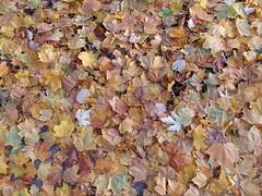 11-11-17 Dayton 05 leaves (Chicagoan in Ohio) Tags: dayton clouds sun sunhalo leaves fallcolor
