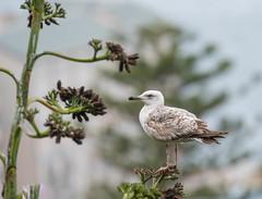 Yelllow-legged Gull (immature) (Tris Enticknap) Tags: yellowleggedgull nikond500 gulls europe gibraltar larusmichahellis