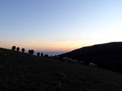 Mele_068_Giutte-Gregge-Tramonto_01-18 (mi.da_me) Tags: giutte mele genova liguria gregge pecore inverno collina mare tramonto crepuscolo pascolo prato appennino spartiacque campagna rurale contadini brucare orizzonte marligure panorama landscape