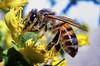 DSC08085 (Gatol fotografia) Tags: abeja insecto amarillo maro bolivia lapaz la paz gatol gatolfotografía brayanbarboza