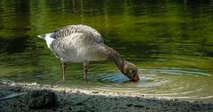 Thirsty (YᗩSᗰIᘉᗴ HᗴᘉS +17 000 000 thx) Tags: thirsty goose bird oiseau oie hensyasmine namur belgium europa aaa namuroise look photo friends be wow yasminehens interest intersting eu fr greatphotographers lanamuroise tellmeastory flickering