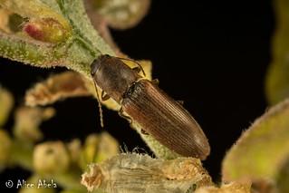Click Beetle (Possible Dalopius sp.)