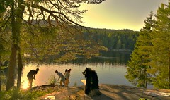 Norway is on the move from the city streets to all the lakes we have in our surroundings,  its around 30C and I  love it ❤ (evakongshavn) Tags: lakes summervibes summer sun sunnyday dog dogsonadventures dogsofnorway flickrdogs dogsthathike landscape landschaft paysage natur nature