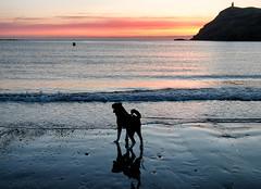 Puppy's First Sunset (manxmaid2000) Tags: sunset sea beach reflection puppy dog silhouette sky coast harbour braddahead porterin isleofman sand coastal silo evening colour
