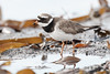 Sandlóa (Charadrius hiaticula) (bjarkihalldors) Tags: canoneos5dmarkiv sigma120300mmf28 ísland iceland sandlóa bird fugl charadriushiaticula akranes