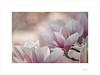 Printemps (E. Pardo) Tags: printemps primavera frühling spring magnolios magnolia flores flowers farben colores colours luz licht light admontabbey admontstiftskirche abadíaadmont