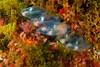 La Gabinière - Prot-Cros - 22/04/2018 (YackNonch) Tags: nauticamna7d canoneos7d aubagneplongéepassion ef815mmf4lfisheye parcnationaldeportcros scubadiving lagabinière canon app macro ponte aubagne portcros eos lieu 7d méditerranée france action nauticam oeufs ss scuba plongée plongéesousmarine bormesplongée ssysd1 diver plongeur dive ef diving na7d hyères provencealpescôtedazur fr