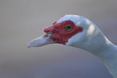 Muscovy Duck portrait (Cairina moschata) (Urban and Nature OZ) Tags: duck muscovyduck birds birding ducks waterfowl waterbird muscovyducks