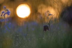 Schachbrettblume in der Morgensonne - Snake's head fritillary in the morning sun (Fritillaria meleagris) (michael.rueffer) Tags: bokeh blumen nature natur naturephotography naturfotografie nikon nikon200500 nikond4 nikonfx vollformat fullframe 310mm fritillaria fritillariameleagris schachbretttblume snakesheadfrittillary wiese meadow frühling spring primavera printemps