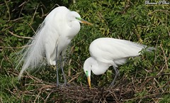 """By all means, please leave everything you've touched today laying around the house.  I love spending every one of my waking moments picking up your stuff."" (Shannon Rose O'Shea) Tags: shannonroseoshea shannonosheawildlifephotography shannonoshea shannon greategret greategrets egret egrets nest trees branches white bird birds breedingplumage feathers wings lores colorful outdoors outdoor nature wildlife waterfowl wild wildlifephotography wildlifephotographer art photo photography photograph fauna flickr wwwflickrcomphotosshannonroseoshea alligatorbreedingmarshandwadingbirdrookery orlando florida gatorland gatorlandbirdrookery rookery ardeaalba beaks aigrettes canon canoneos80d canon80d eos80d 80d canon100400mm14556lisiiusm girlphotographer femalephotographer throughherlens shootlikeagirl shootwithacamera"
