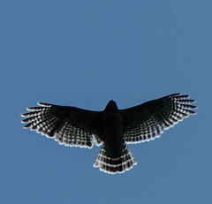 Silver Wings (briarphotos) Tags: briarphotos nikond7000 nikon18200mm raptor redtailedhawk